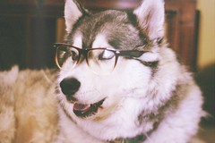 (madzuka) Tags: dog glasses siberianhusky kiba