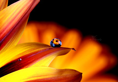 (Meshael Ali) Tags: life camera light red orange black flower macro water glass yellow canon gold golden drops waterdrop colorful d flash drop 100mm ali colored 100 450 softbox goldenbrown 450d canon450d meshael