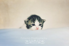 Goodmorning, Dashki (Fatemah.) Tags: light pets animal canon photo flickr natural little kitty dashki