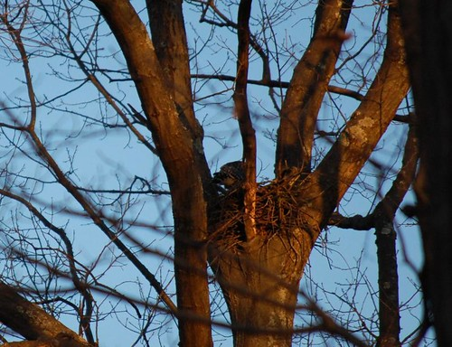 hawk nesting in our yard