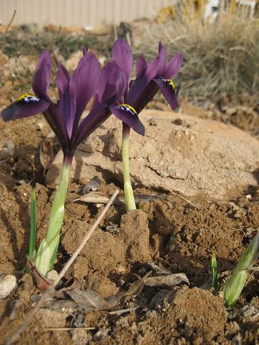 Wildflower bulbs 003