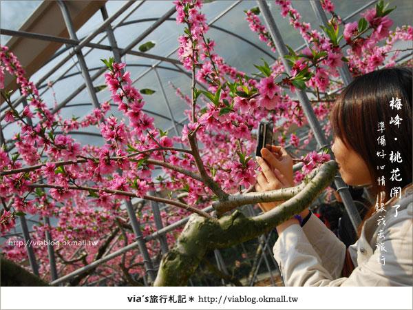 【梅峰農場桃花緣】最美的桃花隧道,就在南投梅峰這裡~(上)23
