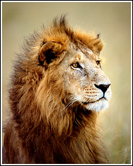 baaaad hair day! (A.M.G.1) Tags: africa andy nature animals southafrica searchthebest african wildlife lion krugernationalpark borntobewild big5 goodman andygoodman malelion animalbehaviour 10faves 25faves animalkingdomelite amg1 wildlifesouthafrica btbw amgoodman
