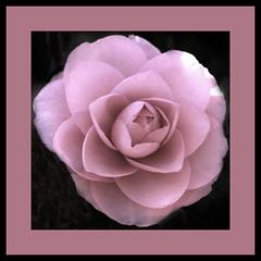 Pink Camillia (bunnyfrogs) Tags: pink flower gardens closeup canon square one soft texas pastel tx houston arboretum pale mercer single frame pinkflower bloom botanic houstontx camillia 50d pinkcamillia