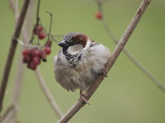 Huismus (uiltje50) Tags: awesome sparrow cestlavie naturesfinest mywinners anawesomeshot naturescreations saariysqualitypictures addictedtonature naturesribbon doublestaraward chileneedsyourhelp virgoaward