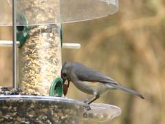 "IMG_9932 (Claire DeLand ~ ""GA Music Maker"") Tags: bird birds tufted backyardbird 20th g9 gamarch 2010spring titmousecarnesville 2010backyard"
