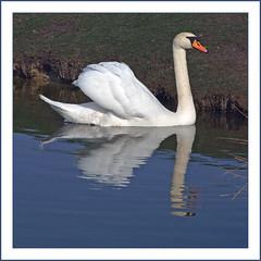 ... er schwimmt mit Majestät ... (Harald52) Tags: tiere natur vögel schwan halle grünesdreieck