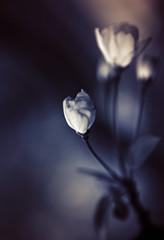 Spring Whisper (inhiu) Tags: plant flower nature dark whisper zen mysterious hengdian abigfave inhiu