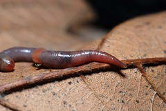 Earthworm Allolobophora chlorotica by Gilles San Martin, on Flickr