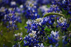 Blue (Red Rooster...) Tags: flowers flower spring houston bluebonnet lupinustexensis houstonist armandbayou houstonpress buffaloclover top20texas assignmenthouston47 bluebonnents
