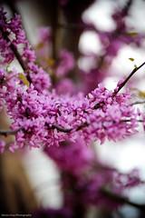 Spring (Steve Gray) Tags: pink flowers tree canon petals spring focus dof beta 300mm shallow springtime uwf universityofwestflorida lightroom3