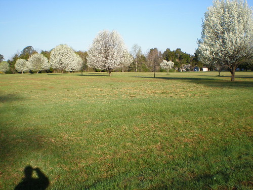 Pear trees blooming on the field