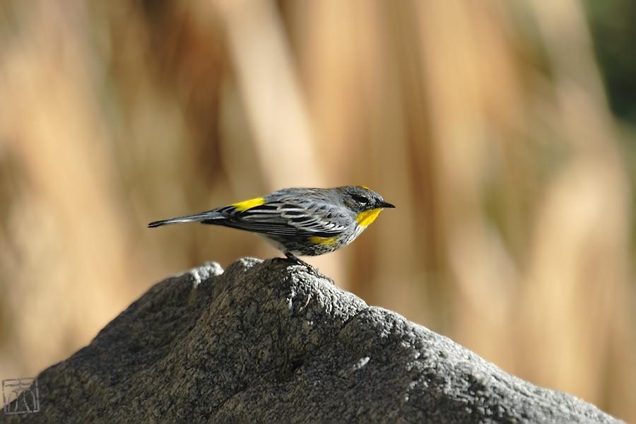 Yellow-rumped Warbler 11071