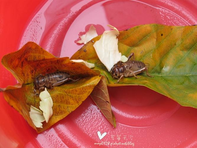 灌蟋蟀17-2010.04.04