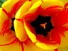 Tulip In Bloom /