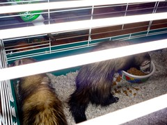 The ferrets in question.