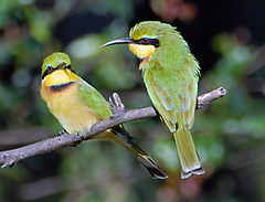 Little Bee-Eaters, South Luangwa