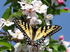 Eastern Tiger Swallowtail/