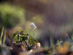 Anemone nemorosa (zioquattroterzi) Tags: light macro primavera