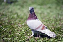 Pigeon (Hoang Viet) Tags: portrait bird church grass animal pigeon vietnam viet saigon hcmc notredamecathedral