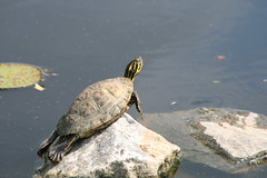 "Turtle suns itself • <a style=""font-size:0.8em;"" href=""http://www.flickr.com/photos/30765416@N06/4528590035/"" target=""_blank"">View on Flickr</a>"