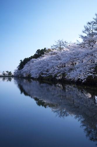 201004189012朝の桜_R