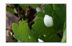 Spring has arrived! (thomevered) Tags: white ontario canada flower macro green leaves closeup aka leaf spring guelph springtime bloodroot sanguinariacanadensis wellingtoncounty 2850 a700 springhasarrived
