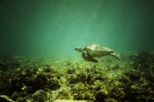 The Mighty Pawikan (Sea Turtle)