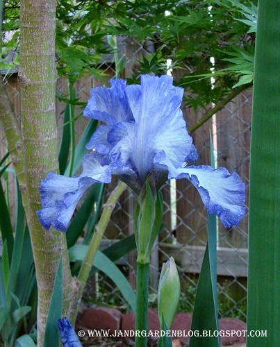Polly's Blue
