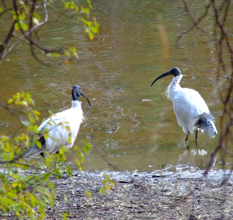 i spy ibis