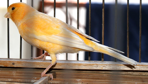 Jual Burung Kenari Bandung Hewan Warna Orange Foto Artis