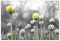 Yellow Tulips (Ronaldo F Cabuhat) Tags: travel flowers vacation newyork macro green art love nature beautiful yellow garden photography photo site spring interesting glow softness creative picture visit creation smell albany imagination albanyny scent 2010 washingtonpark selectivecolor softtones tiltshift yellowtulips canonefs1755mmf28isusm canoneos50d albanytulipfestival cabuhat