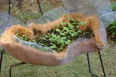 種蒔き後のレンゲソウ