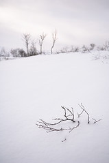 Branches poking out of the snow (Tom Hanslien Photography) Tags: winter white mountain snow cold tree norway bush solitude bare north calming calm fresh windswept bleak isolation highkey lonely birch scandinavia solitary desolate barren whiteout tranquil exposed conditions inhospitable remoteness unsheltered