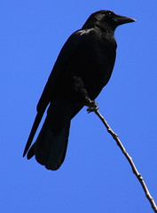 Crow (hpulley) Tags: crow canonextenderef14xii canoneos1dmarkii canonef100400mmf4556lisusm