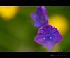 Llamando a la tierra (vanbreack) Tags: flowers flower macro dof flor florecilla cruzadas florees cruzadasgold