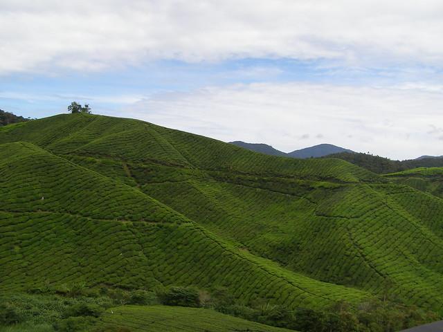 金马伦高原的茶园