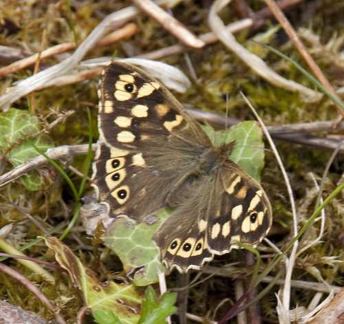 Speckled Wood Butterfly 3