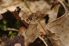 Syromastus rhombeus (Will_wildlife) Tags: macro bug pentax wildlife sandy thelodge rspb sigma105 hemiptera raynoxdcr250 k20d syromastusrhombeus addedhetrecscheme