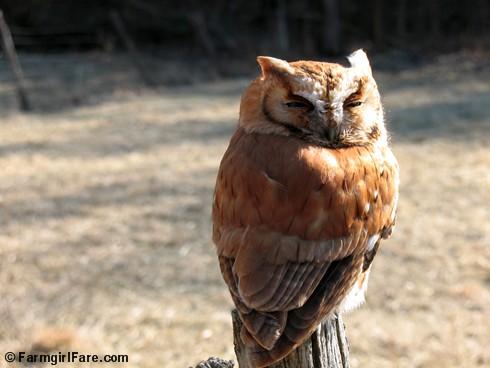 Screech Owl (2)