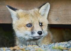 Kit (J Gilbert) Tags: newjersey fox kit redfox nwr vulpesvulpes greatswamp naturesfinest vulpes specanimal