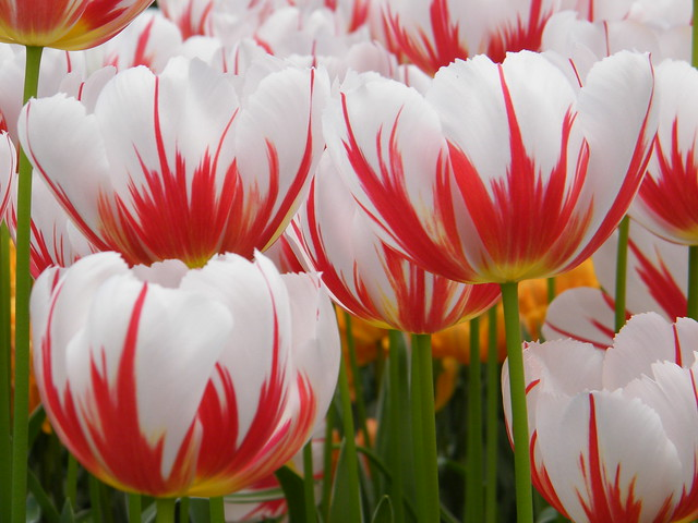 If you like red and white, Happy Generation, a Triumph tulip, is cleaner and simpler than the fussy double tulip Carnival de Nice.