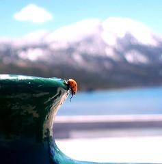 Walkabout.... (Bhamgal) Tags: lake green tahoe ladybug msh0610 photocontesttnc10 msh061020
