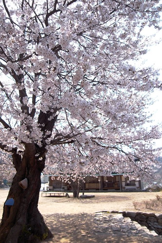 벚꽃 벚나무
