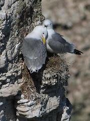 High Rise Love Nest (alison brown 35) Tags: wild brown bird nature season photography chalk spring wildlife yorkshire may cliffs east breeding alison 35 seabird nesting 2010 80400mm rspb kittiwake kittiwakes bemptoncliffs bempton