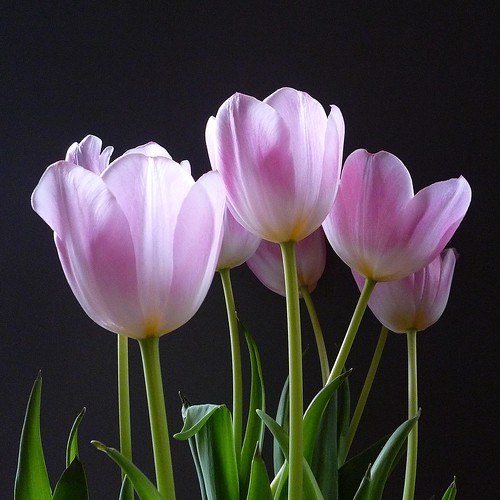 tulipes rose