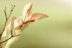 ~ Thank you!!!! (CarolynsHope) Tags: light nature leaves leaf bush soft feminine pastel minimal negativespace simplicity twig dreamy minimalism simple twigs simplistic