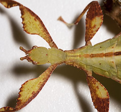 """Leaf Insect(3) • <a style=""""font-size:0.8em;"""" href=""""http://www.flickr.com/photos/57024565@N00/4587013760/"""" target=""""_blank"""">View on Flickr</a>"""
