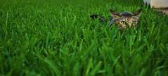 Mother nature's son (Mister Blur) Tags: sunset grass cat atardecer nikon chat hunting pasto gato lying picnik shadesofgreen d60 cazando mothernaturesson cc300 cc200 thelittledoglaughed mérida méxico unamourdechat saariysqualitypictures thecatwhoturnedonandoff rocoeno