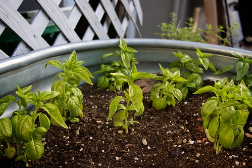 sweet basil is getting bigger